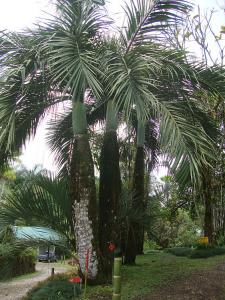 Dypsis decipiens7_opt.jpg